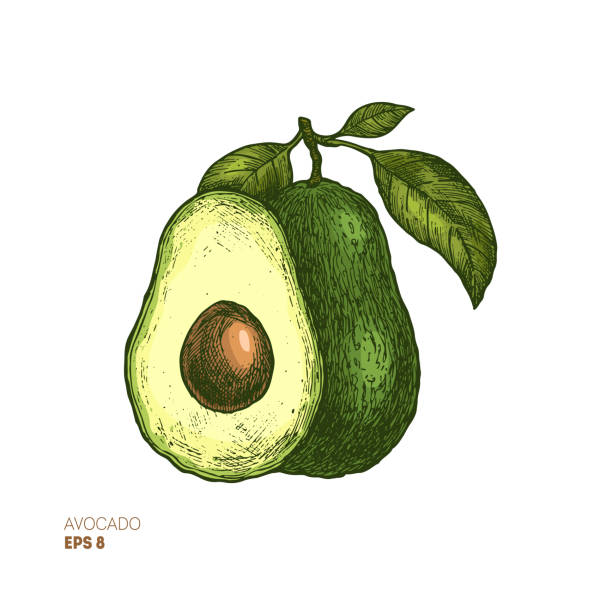illustrazioni stock, clip art, cartoni animati e icone di tendenza di colored avocado botanical illustration. engraved style illustration. packaging design. vector illustration - avocado