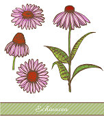 Colored Echinacea in Hand Drawn Style. Vector Illustration of Medicinal Plant