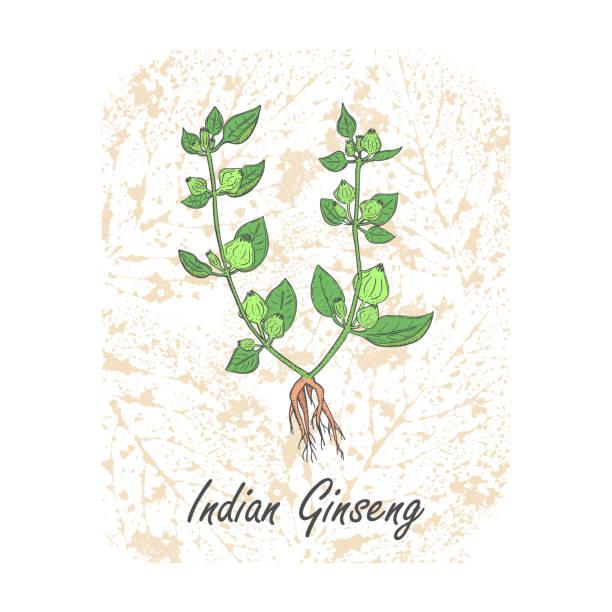 farbige kräuter indische ginseng auf dem strukturierten substrat - schlafbeere stock-grafiken, -clipart, -cartoons und -symbole
