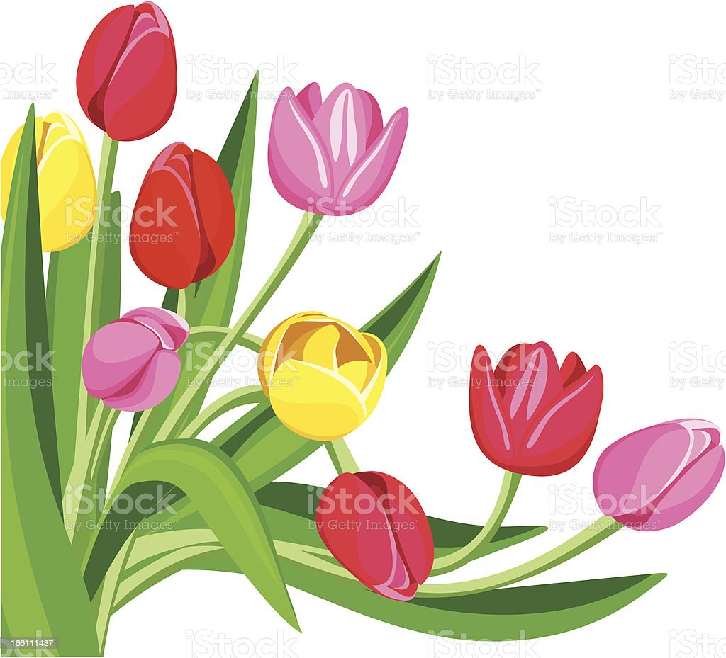 Colored tulips. Vector illustration. royalty-free stock vector art
