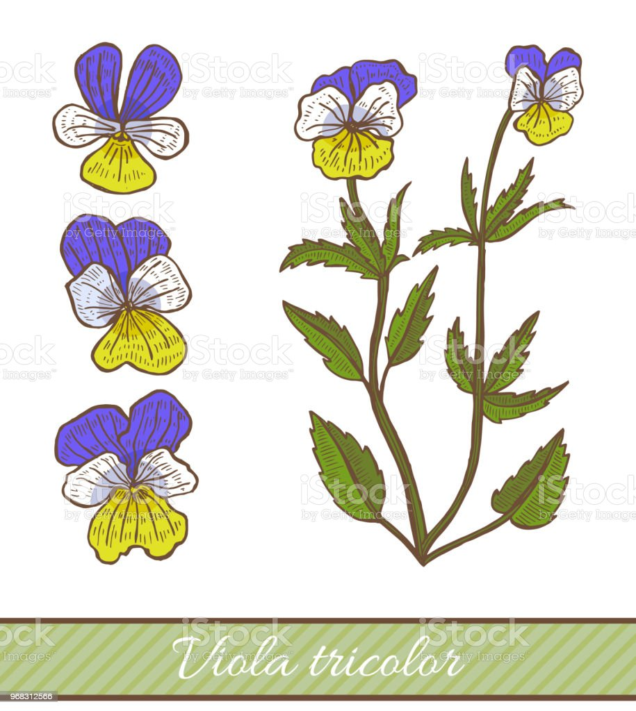 Colored Viola Tricolor In Hand Drawn Style Stock Illustration