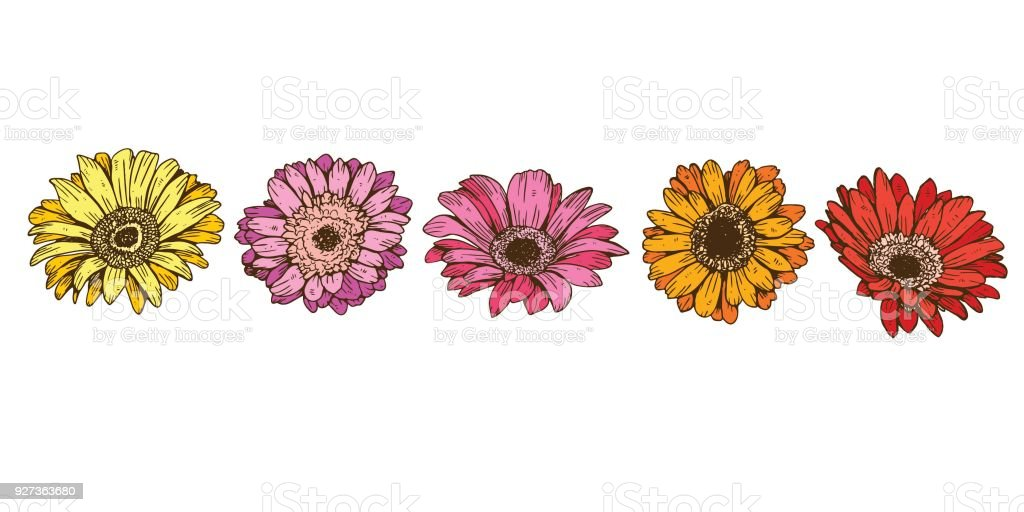 Colorful daisy flowers isolated on white background. Floral vector - Royalty-free Agricultural Field stock vector