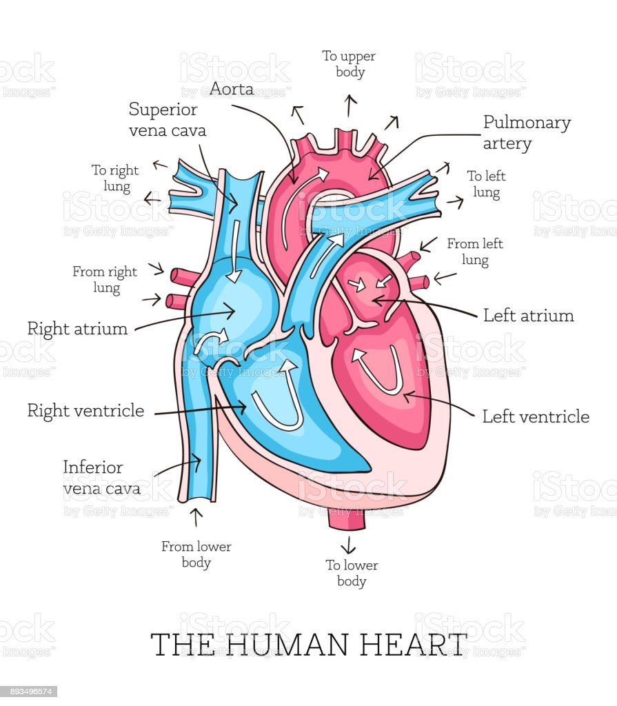 Colorful hand drawn illustration of human heart anatomy vector art illustration