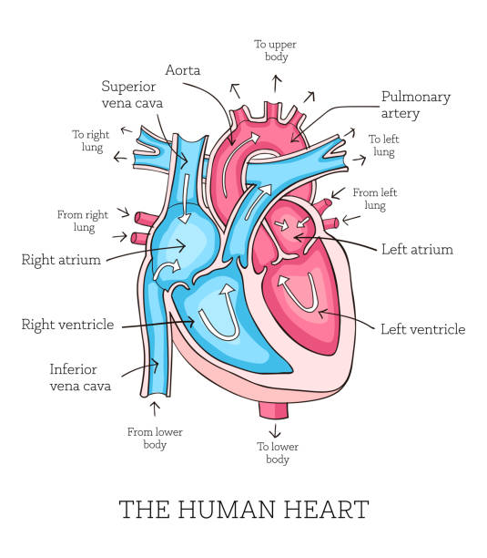 Colorful hand drawn illustration of human heart anatomy Hand drawn illustration of  human heart anatomy. Educational diagram showing blood flow with main parts labeled. Vector illustration easy to edit human heart stock illustrations