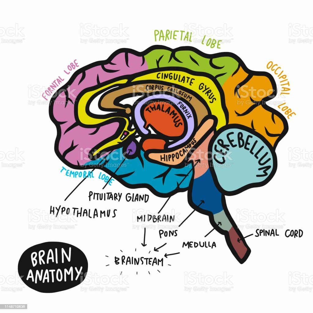 Colorful human brain anatomy vector illustration Colorful human brain anatomy vector illustration Anatomy stock vector