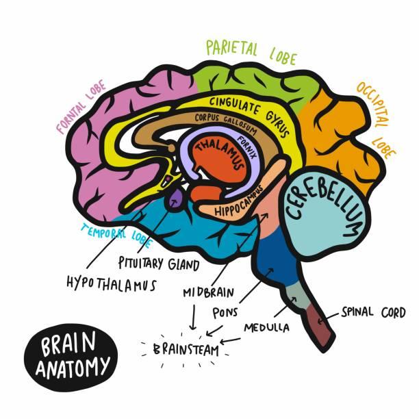 Colorful human brain anatomy vector illustration Colorful human brain anatomy vector illustration parietal lobe stock illustrations