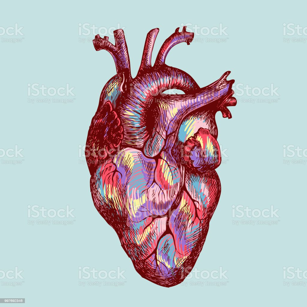 Colorful Human Heart Stock Vector Art More Images Of Anatomy