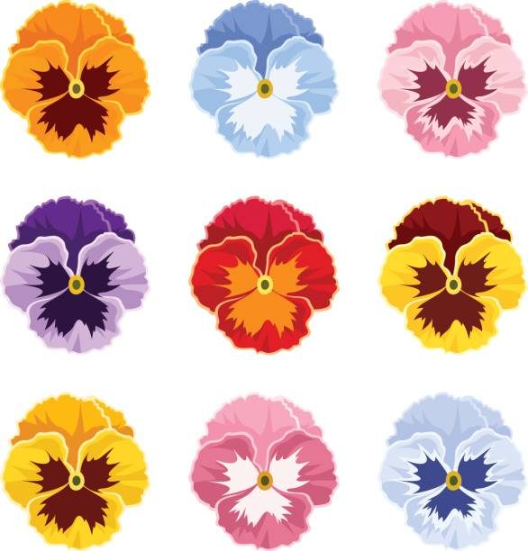Colorful pansy flowers. Vector illustration. Set of colorful pansy flowers isolate on a white background. pansy stock illustrations