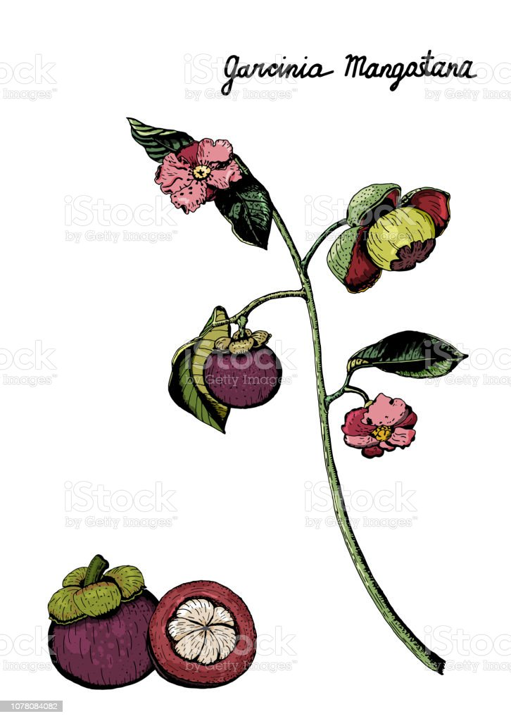 Colorful Purple Mangosteen Branch Fruits Flowers Leaves Hand