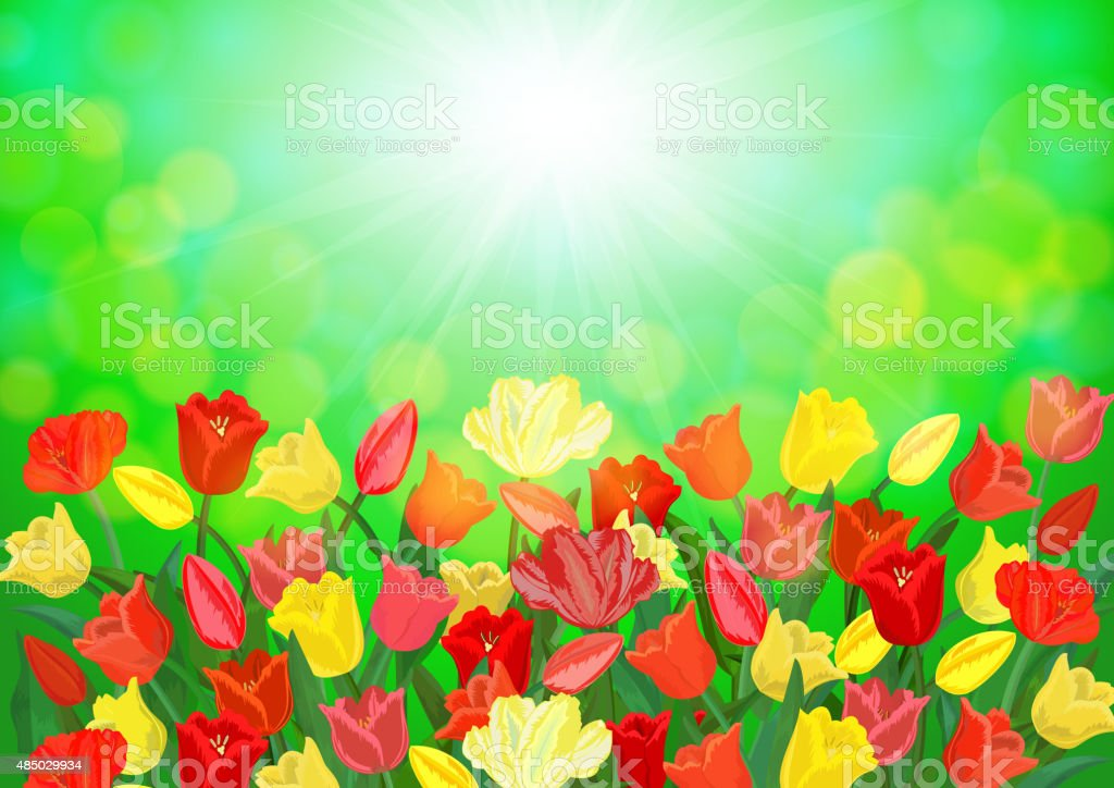 Colorful tulip flowers vector art illustration