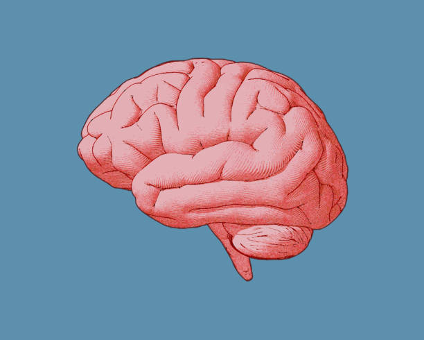 Colorful vintage brain illustration isolated on blue BG Engraving red pink brain side view with watercolor and drawing illustration on blue turquoise color background brain stock illustrations