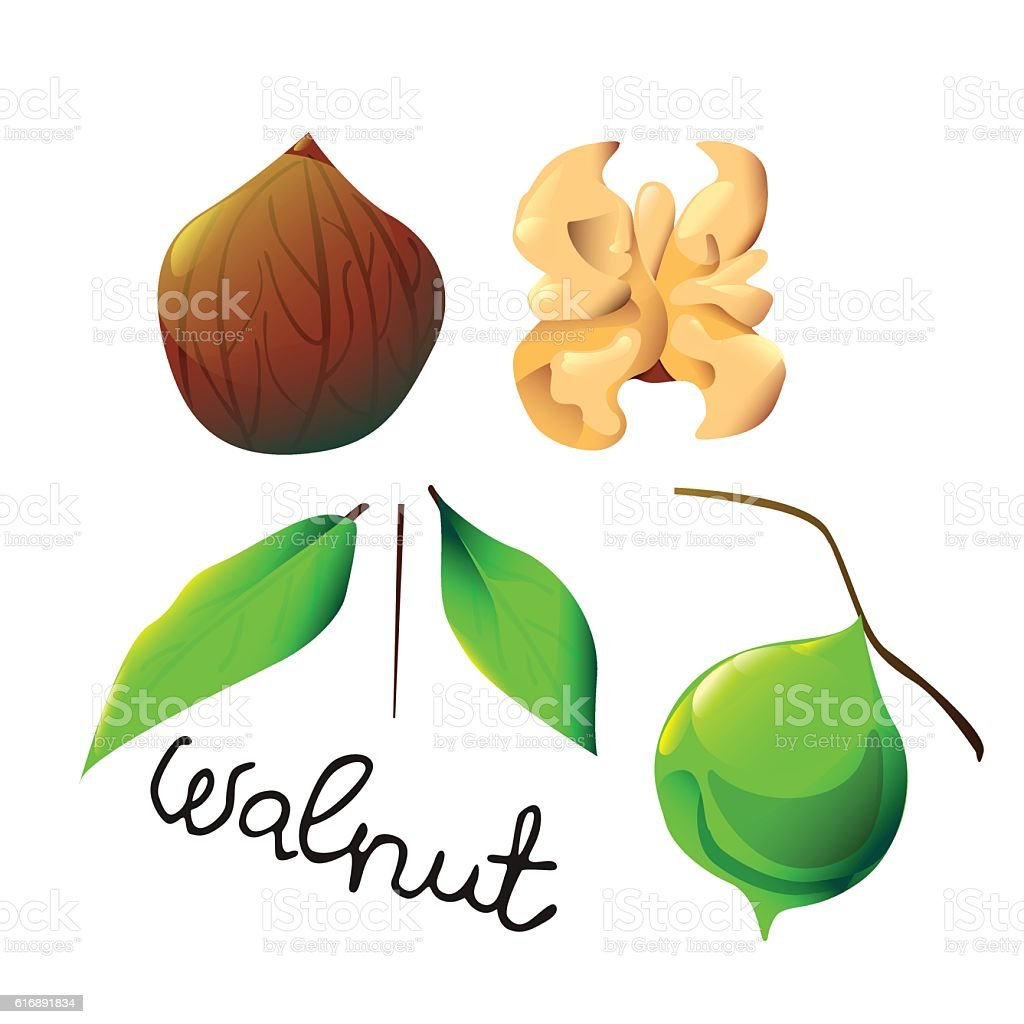 colorful walnut ベクターアートイラスト