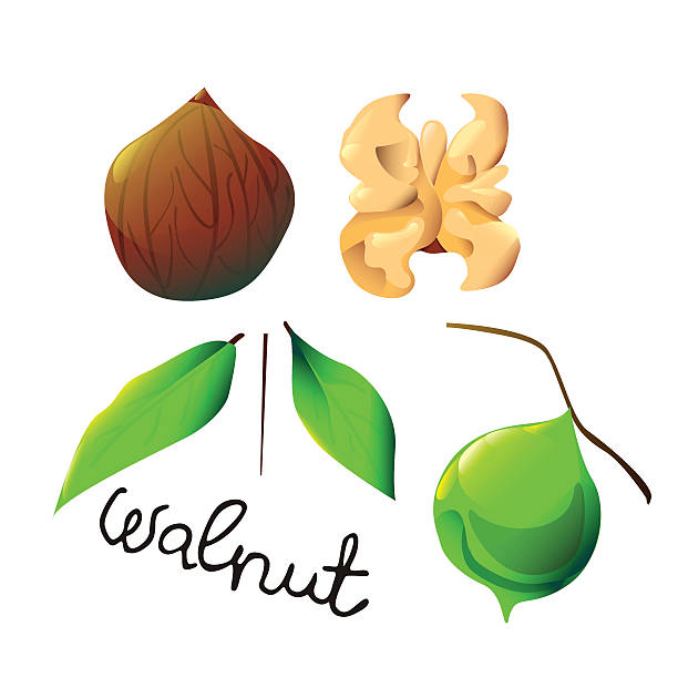 colorful walnut - ilustración de arte vectorial