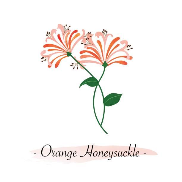 Colorful watercolor texture vector botanic garden flower orange honeysuckle Colorful watercolor texture vector botanic garden flower orange honeysuckle honeysuckle stock illustrations