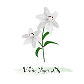 Colorful watercolor texture vector botanic garden flower white tiger lily