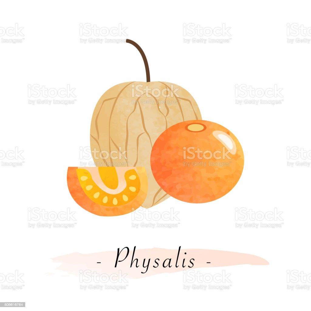 Colores acuarela textura vector sano fruta uchuva physalis - ilustración de arte vectorial
