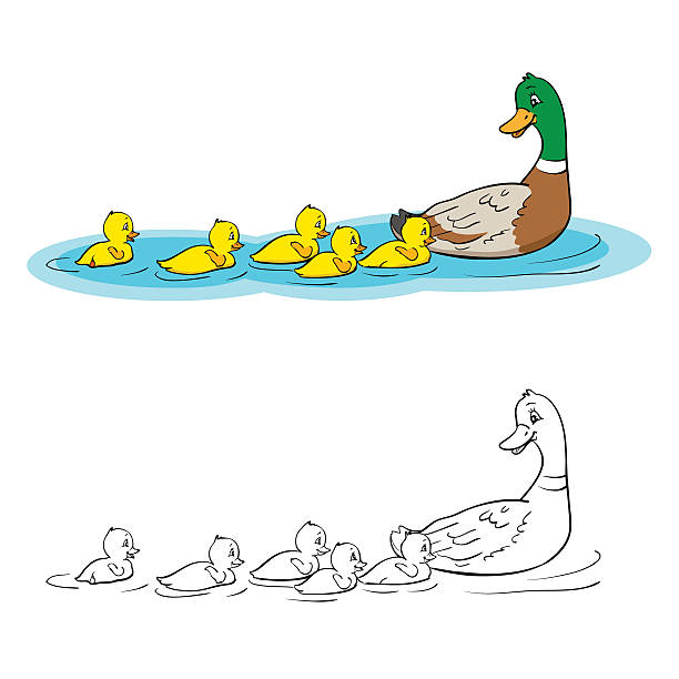 Coloring book or page. Mother duck and ducklings. Coloring book or page. Mother duck and ducklings. Mallard duck and baby ducklings. duckling stock illustrations