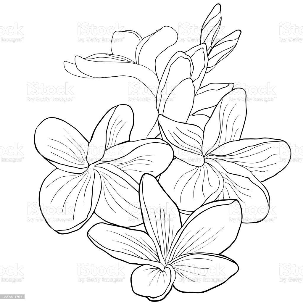 Coloriage Fleur Hawai.Coloriage Fleur De Plumeria Hawaien Espece Exotique Illustration