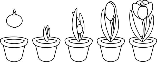Royalty Free Saffron Crocus Clip Art, Vector Images