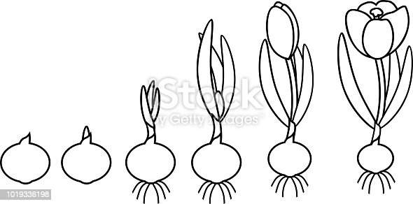 Coloring Page Crocus Life Cycle Stages Of Growth From