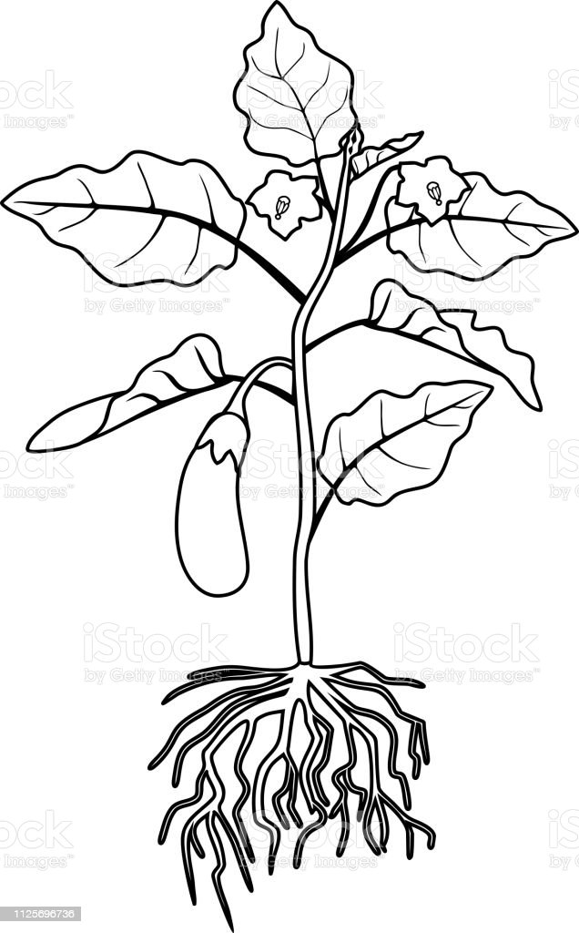 Coloring Page Eggplant With Leaves Fruit And Root System ...