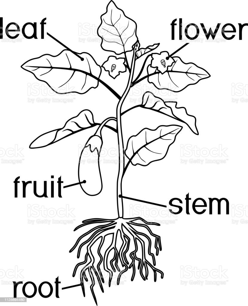Coloring Page Eggplant With Leaves Fruit Root System And ...