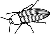 Coloring page. Imago of Click beetle isolated on white background