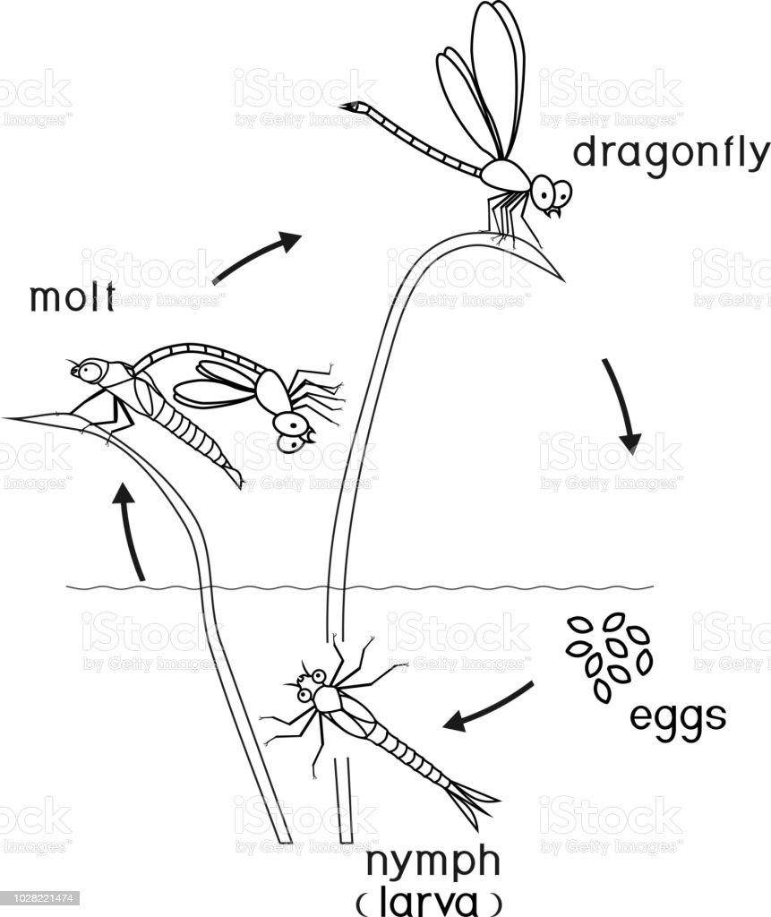 Coloring Page Life Cycle Of Dragonfly Stock Vector Art & More Images ...