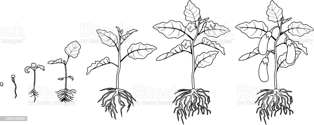 Coloring Page Life Cycle Of Eggplant With Root System Growth ...