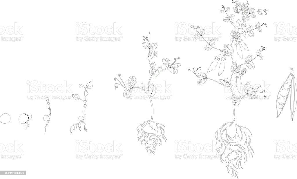 Ilustración de Página Para Colorear Ciclo De Vida De La Planta Del ...