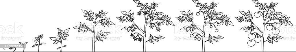 Boyama Sayfasi Domates Bitkisinin Yasam Dongusu Beyaz Arka Planda