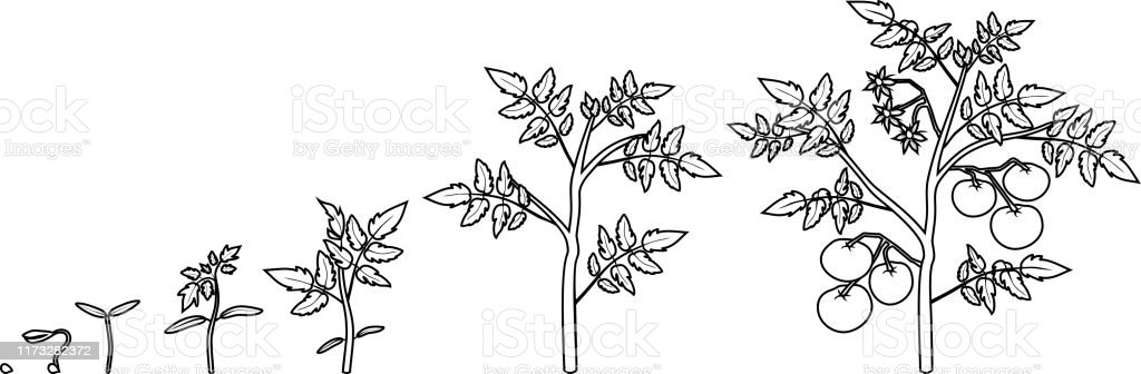 Coloring Page. Stages Of Radish Growth From Seed And Sprout To ... | 336x1024