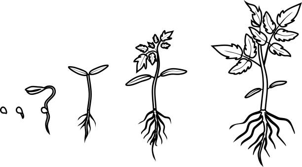Plant Life Cycle Coloring Stock Illustrations – 69 Plant Life Cycle Coloring  Stock Illustrations, Vectors & Clipart - Dreamstime
