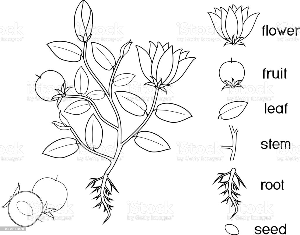 parts of a plant coloring pages | Coloring Page Parts Of Plant Morphology Of Flowering Plant ...