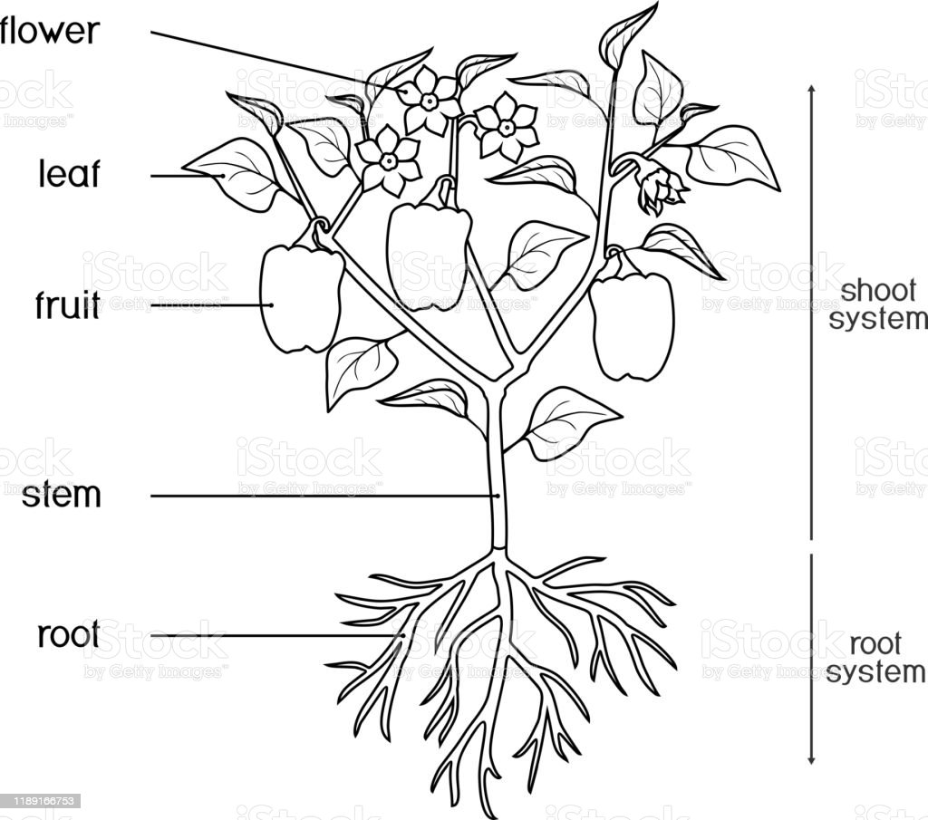 Coloring Page Parts Of Plant Morphology Of Pepper Plant ...
