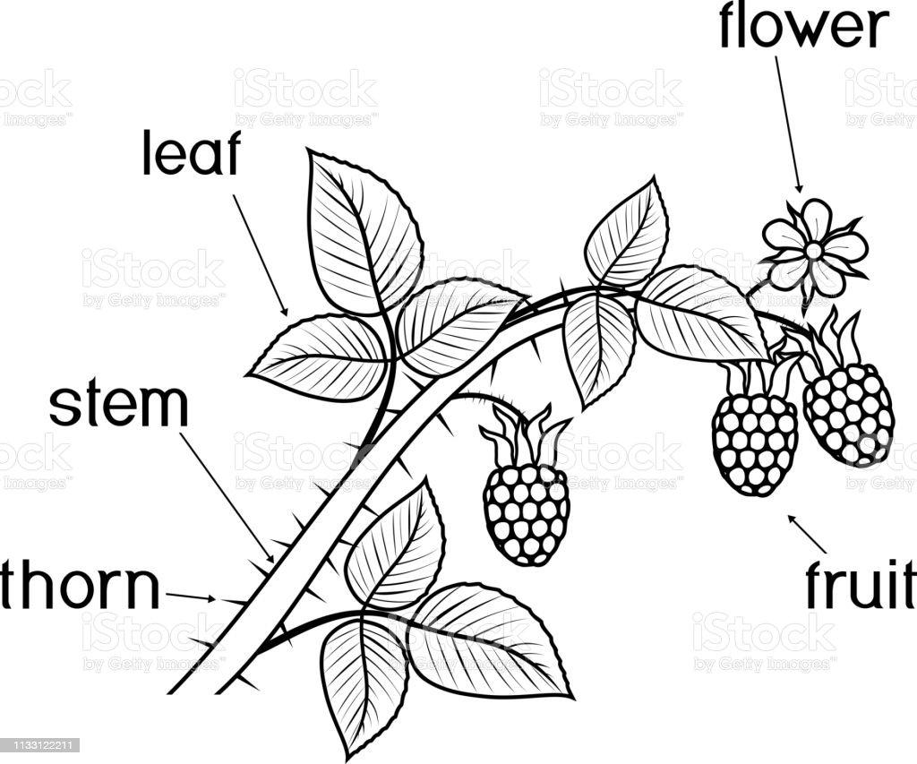 Ilustración De Página Para Colorear Partes De La Planta