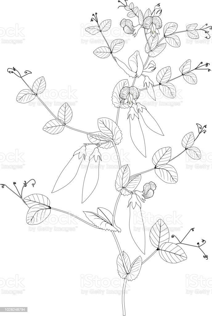 Boyama Sayfasi Bezelye Bitki Meyve Yaprak Ve Cicek Ile Stok Vektor