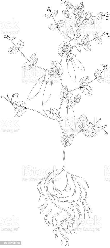 Malvorlagen Erbsenpflanze Mit Früchte Blätter Und Wurzelsystem Stock