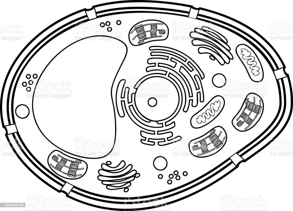 Ilustración de Página Para Colorear Estructura De La Célula Vegetal ...
