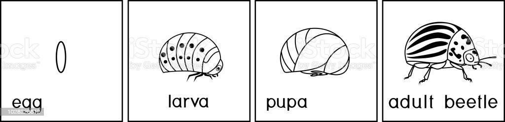 Ilustración de Página Para Colorear Secuencia De Etapas Del ...