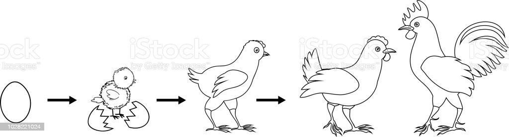 Boyama Sayfası Yetişkin Kuş Için Yumurtadan Tavuk Büyüme Aşamaları