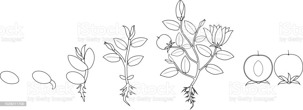 Coloring Page Stages Of Growth Of Flowering Plant From Seed Stock - Seed-coloring-page