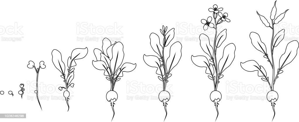 Boyama Sayfası Tohum Ve Filiz Turp Büyüme Aşamalarında çiçeklenme Ve