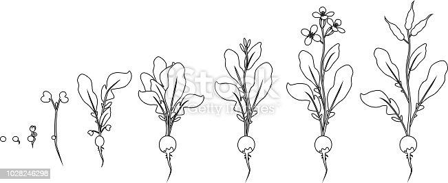 istock Ciclo de vida de la planta de ajo. Etapas de crecimiento de ...