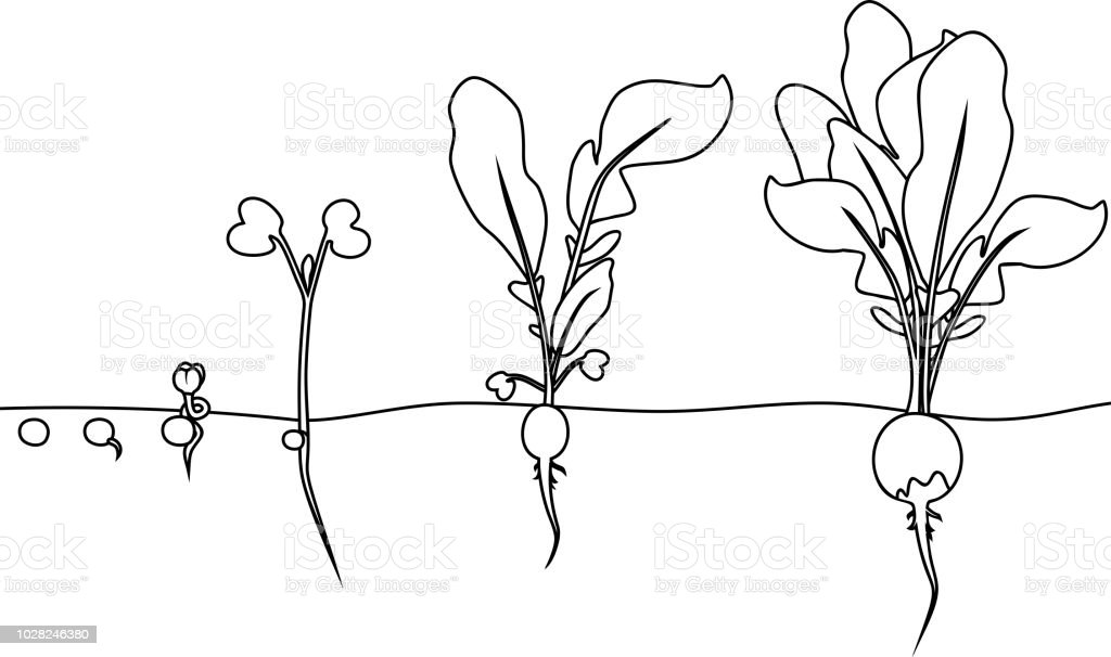 Coloring Page Stages Of Radish Growth From Seed And Sprout To - Seed-coloring-page