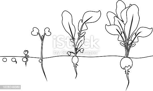 istock Página para colorear. Etapas de crecimiento de rábano de ...