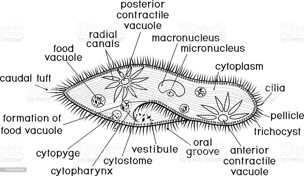coloring page structure of paramecium caudatum with titles stock vector art  u0026 more images of