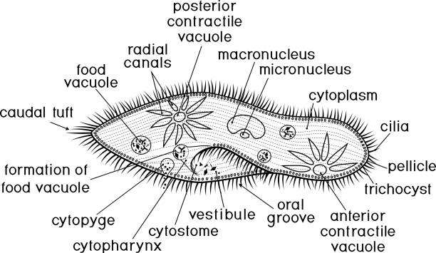 Royalty Free Paramecium Clip Art, Vector Images