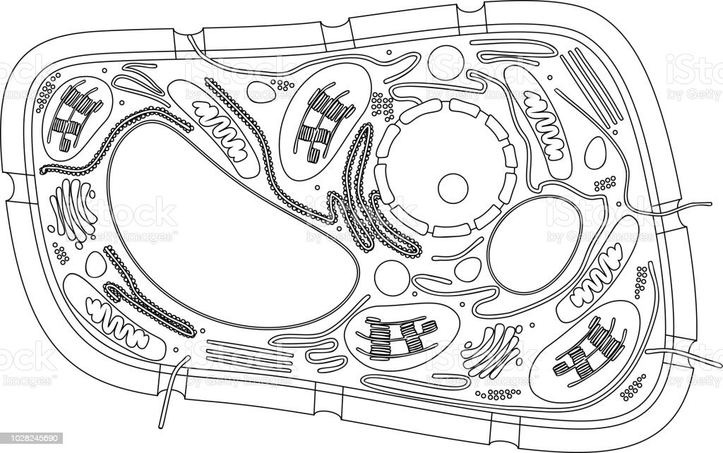 Ilustración de Página Para Colorear Estructura De La Célula De La ...
