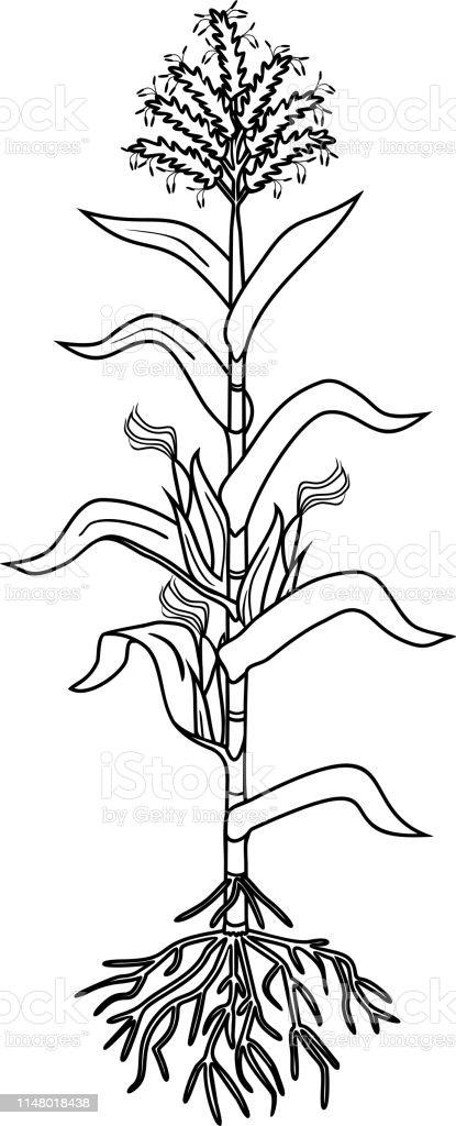 Ilustración de Página Para Colorear Con Planta De Maíz Con